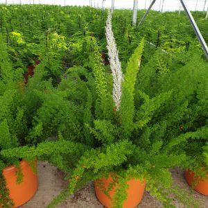 Asparagus densiflorus meyerii Sierasperge
